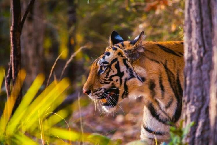 kniha džungle - tiger
